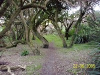 Grove of trees and ongaonga