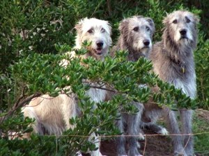 Three shaggy dogs