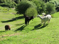 Alpacas on Roseburn