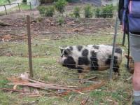 Kumi Kumi pigs
