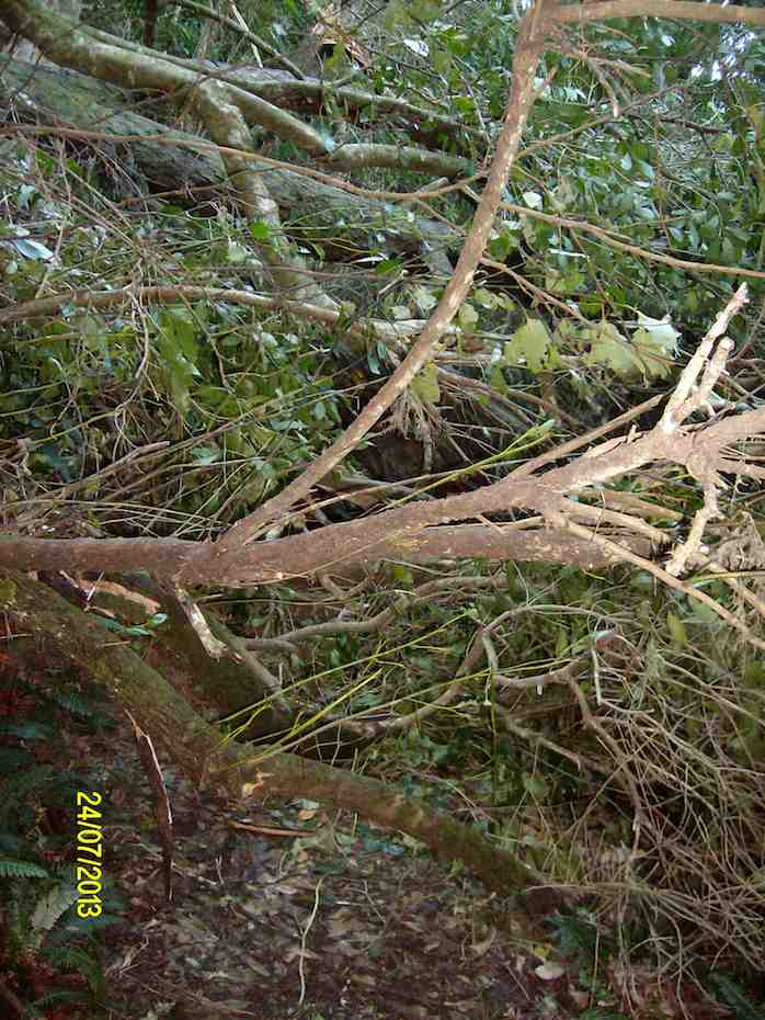 Some of the fallen trees across the track. There is a large Rimu in there somewhere