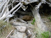 2 Intruder in the log shelter on beach